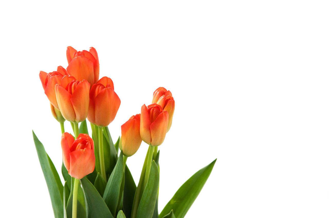 Beauty In Nature Blooming Close-up Day Flower Flower Head Fragility Freshness Growth Leaf Nature No People Orange Color Outdoors Petal Plant Poppy Red Studio Shot Tulip White Background