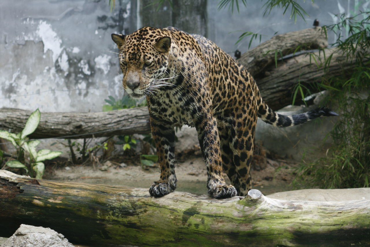 Beautiful stock photos of jaguar, Animal Markings, Animal Themes, Animals In Captivity, Animals In The Wild