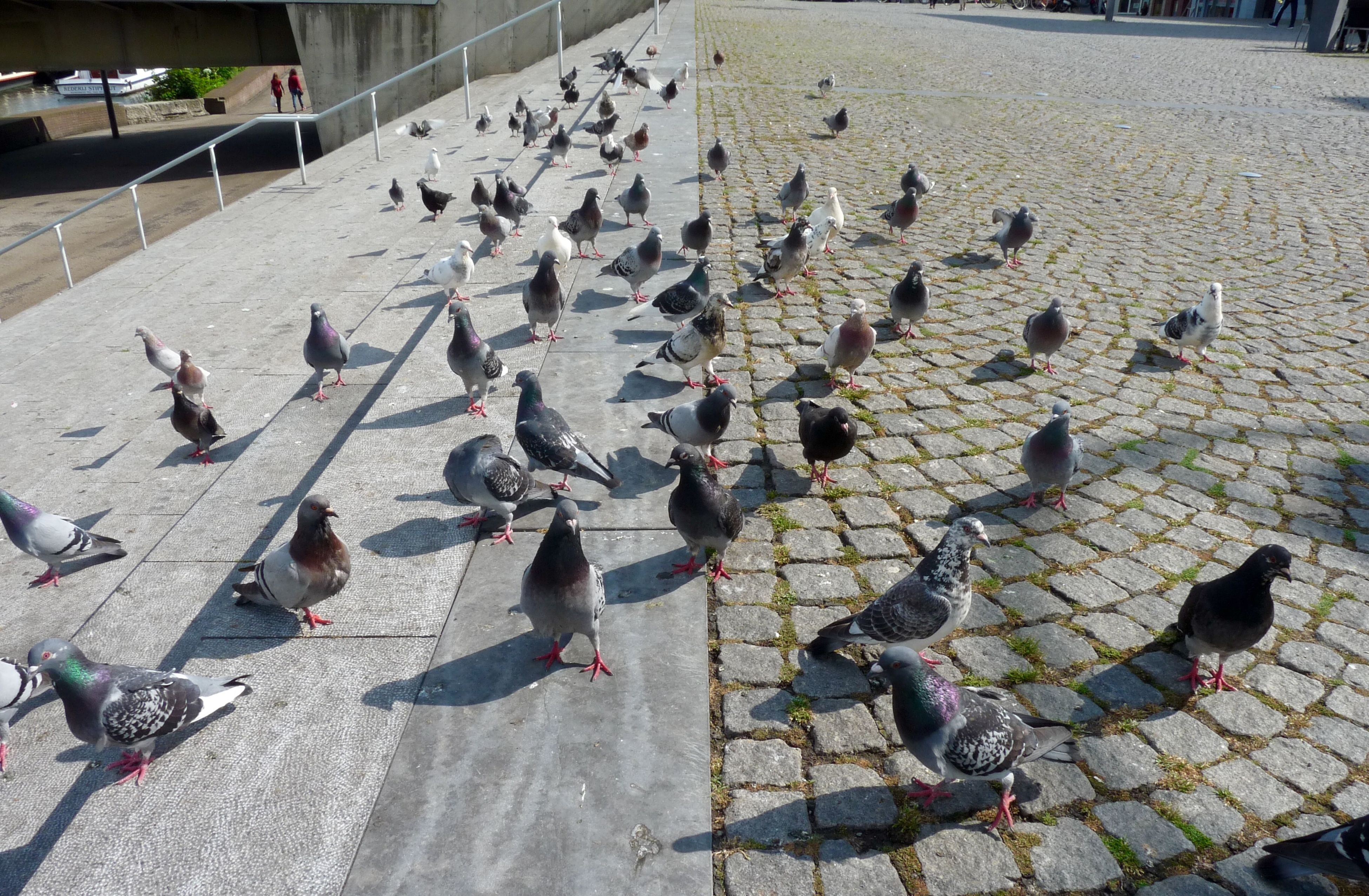 bird, animal themes, pigeon, animals in the wild, wildlife, flock of birds, street, high angle view, built structure, day, outdoors, building exterior, sidewalk, sunlight, medium group of animals, architecture, shadow, cobblestone, pavement