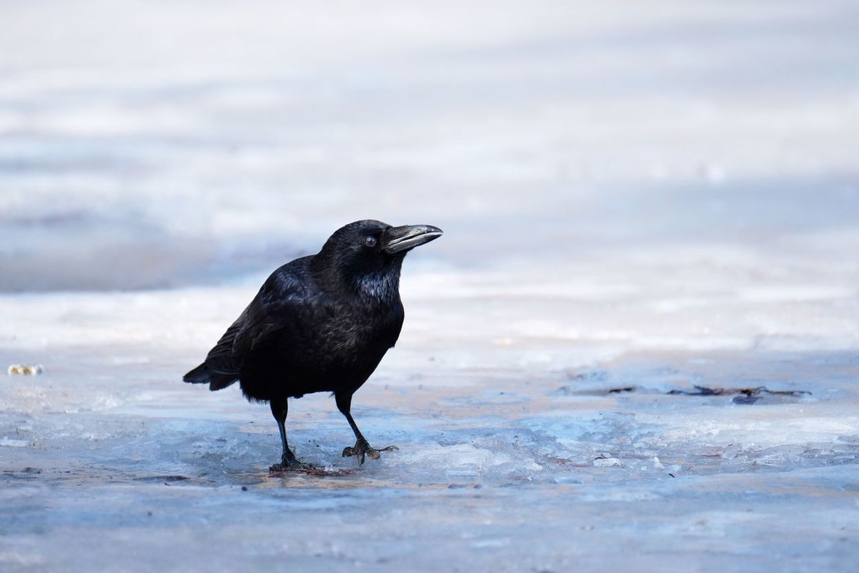 Animals In The Wild Animal Themes One Animal Bird Animal Wildlife Raven - Bird Sea Outdoors Nature Black Color No People Water Crow Day Blackbird Frozen Nature Frozen Water Frozen Lake Lake Frozen Ice Cold Temperature Winter Nature Animals In The Wild