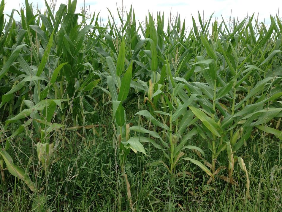 Corn Corn Field Farm Life Farming Amishcountry