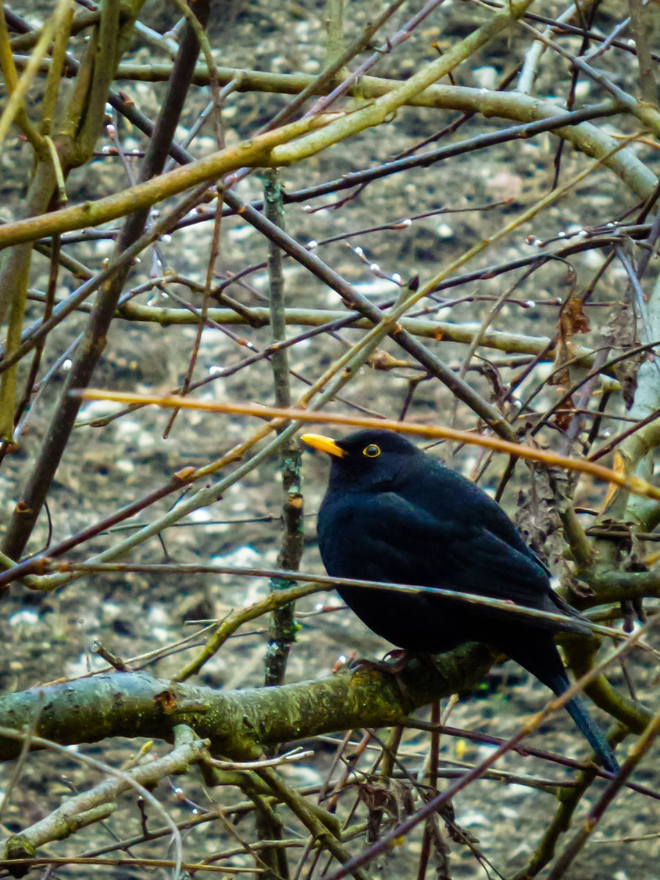 Blackbird Animals Nature_collection Nature Animal_collection Animals In The Wild