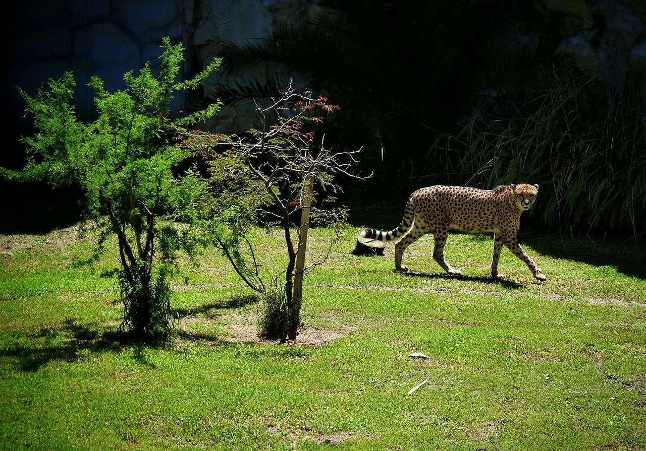 Otro Chita. Cheetah Feline Mammal One Animal Tree Shadow Animal Themes Grass Nature Day Outdoors No People Beauty In Nature Grass Animals Zoo Animal Sunny Day 🌞 Cats Eyes Portrait Felines Temaiken
