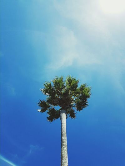 Palm Tree Tree Sky Blue No People Nature Low Angle View Tranquility Day Cloud - Sky Outdoors Beauty In Nature Single Tree