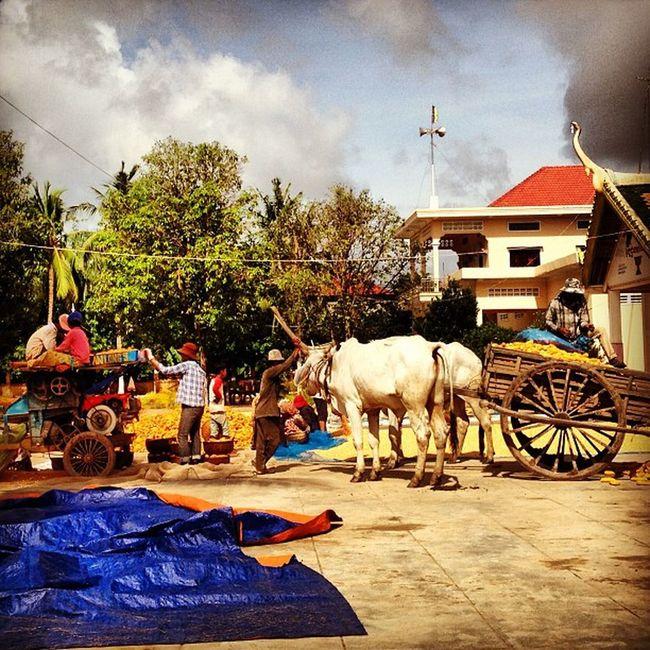Corn Farm Cambodia Khmerican work