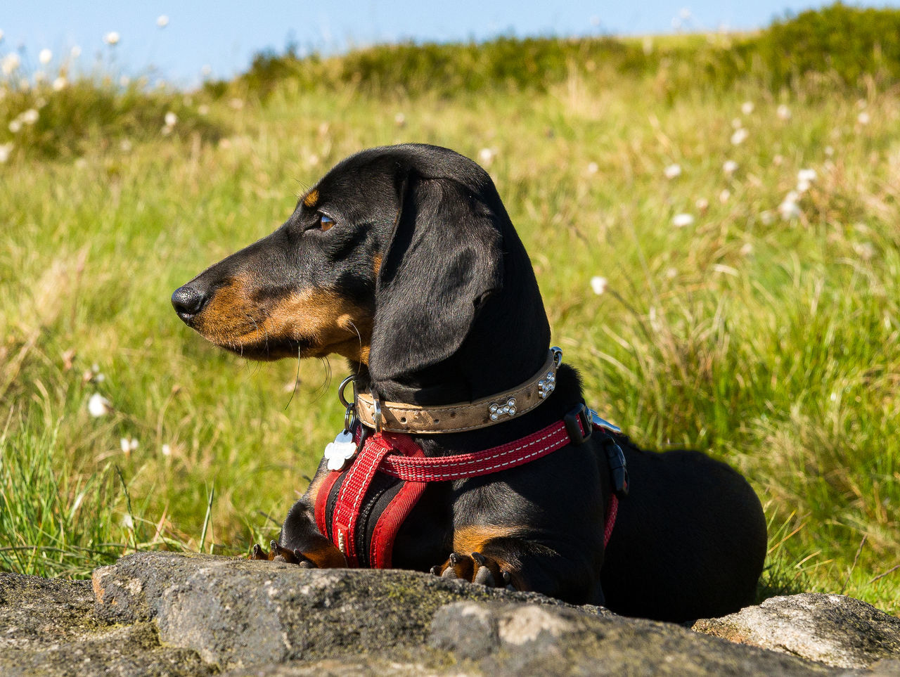 Taking in the views Animal Themes Cute Dachshund Dog Domestic Animals Focus On Foreground Grass No People One Animal Outdoors Pets Puppy Sausagedog Sitting
