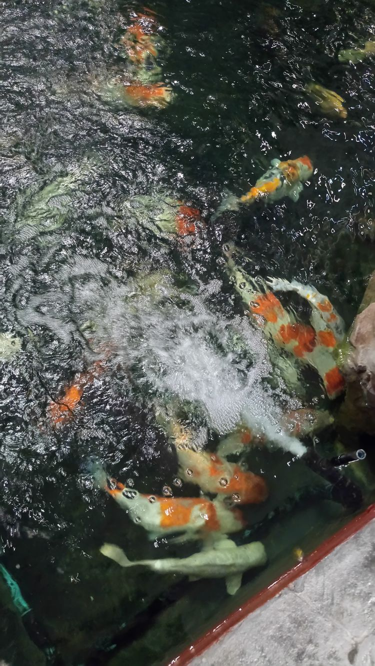 Water Animal Themes Nature No People Were Sway Carp Reflection Lots Of Fish In One Picture Fish Herd Large Group Of Animals Fish Blurred Photography Indoors  Nature