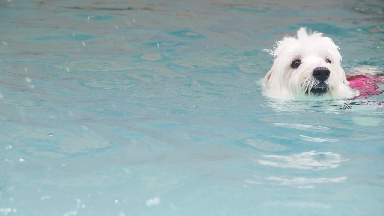 Summer Dogs Wetdog Dog Swimming Westies Dog's Pool
