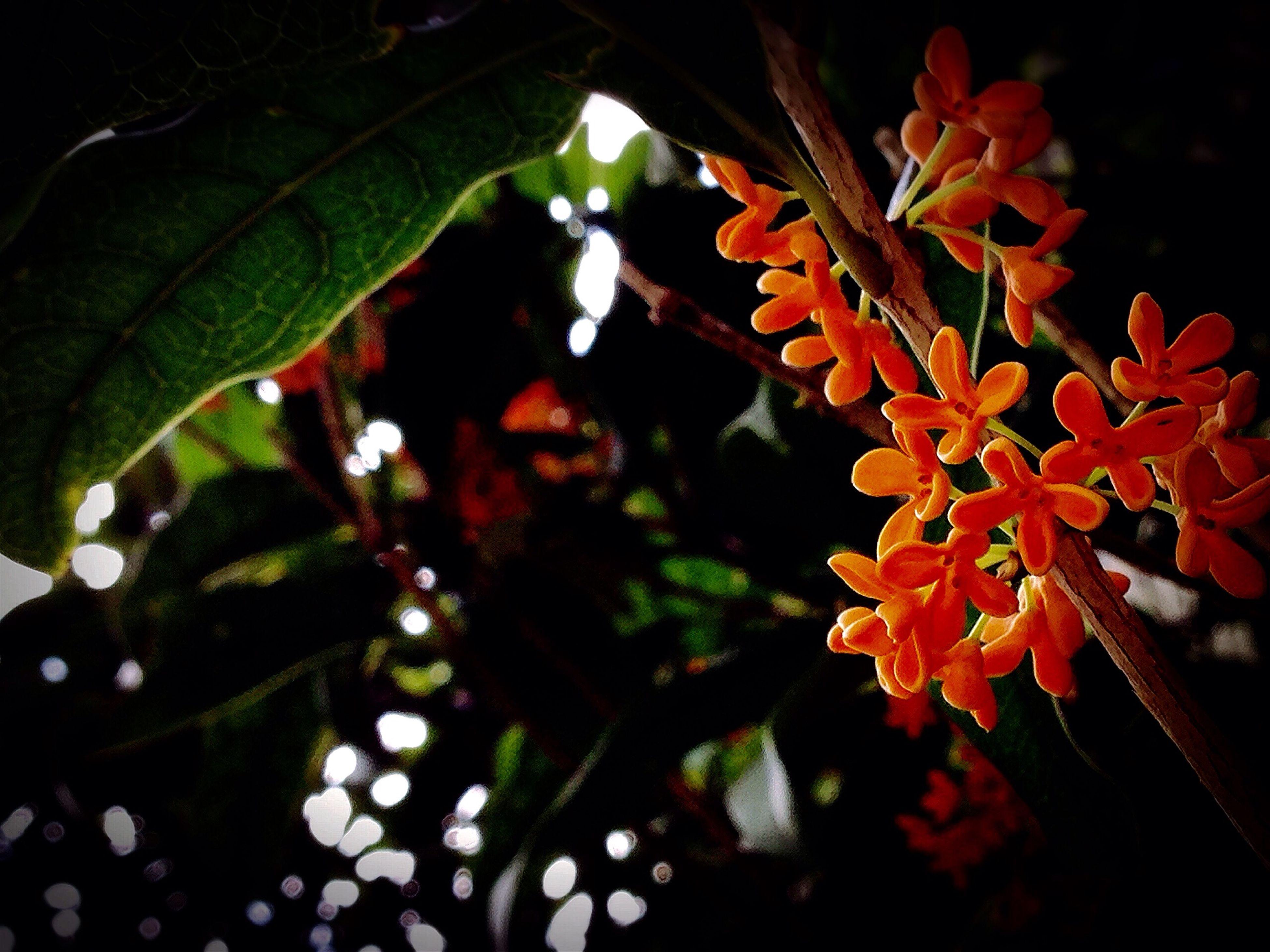 キンモクセイ Osmanthus Fragrans Autumn Fragrance 秋の 香り