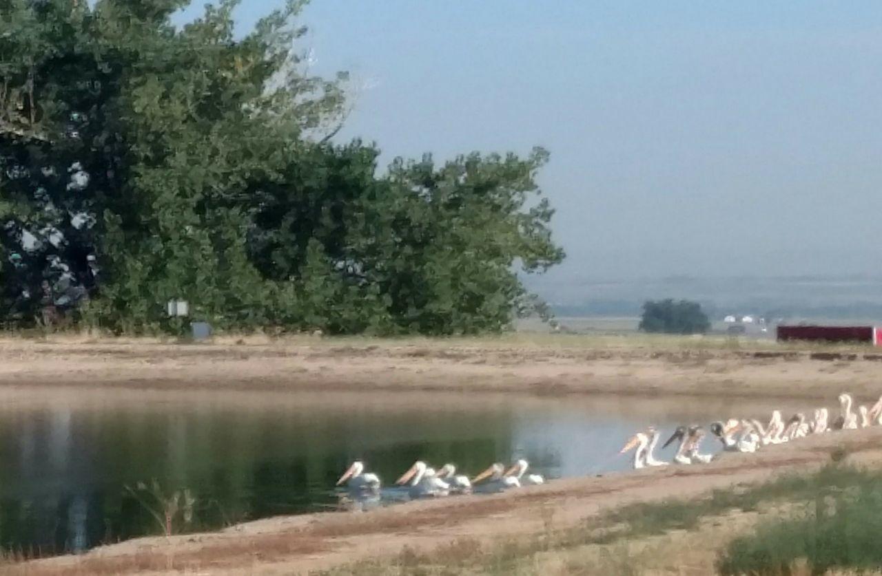 Pelican Birds Pelicans Going For A Swim Birds Bird Photography Birds Wildlife Birdphotography