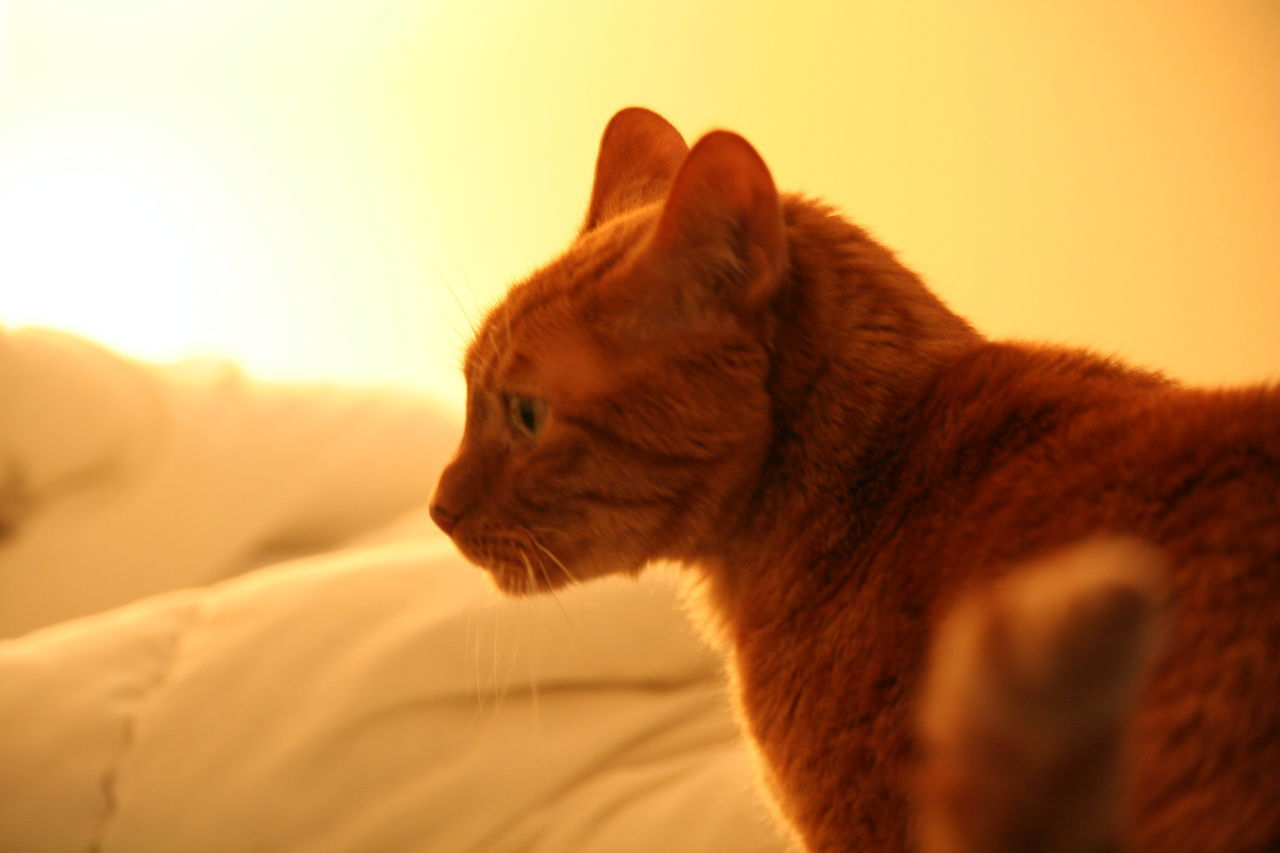 one animal, animal themes, mammal, domestic animals, pets, domestic cat, feline, no people, close-up, indoors, nature, day, ginger cat