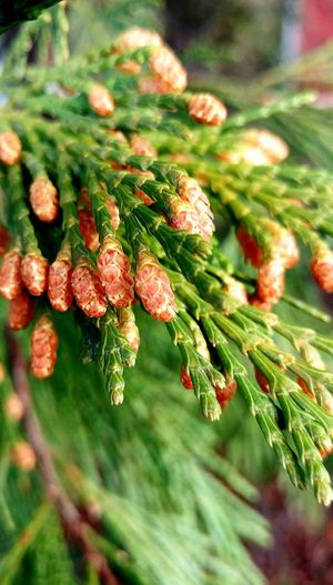 Nature Growth Close-up Plant Leaf Beauty In Nature No People Outdoors Day Needle - Plant Part Freshness Bright Beauty In Nature Green Forest Trees Washington State Pine Woodland Tree Forest Pine Seeds Of Life Seeds Of Hope Seeds Of Change EyeEm Best Shots EyeEm Nature Lover