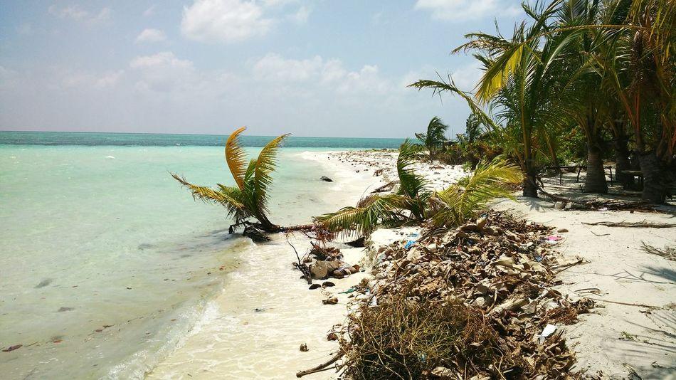 Coconut Palms fallen. Soil Erosion