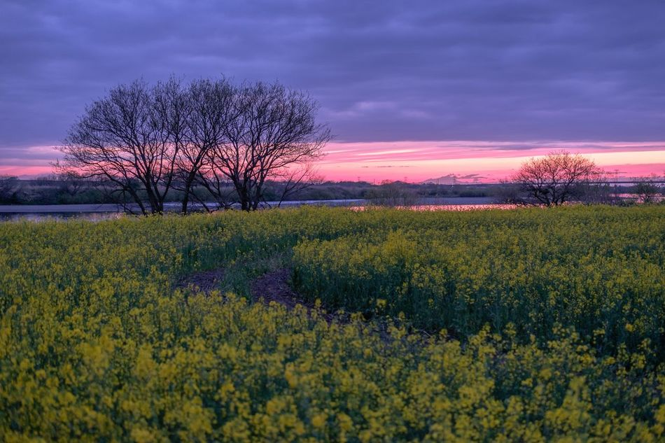 Japan Photography Beauty In Nature Sunset Twilight Purple Tranquil Scene Outdoors Cloud - Sky Tree Flower 夕焼け Golden Hour Rural Scene 菜の花