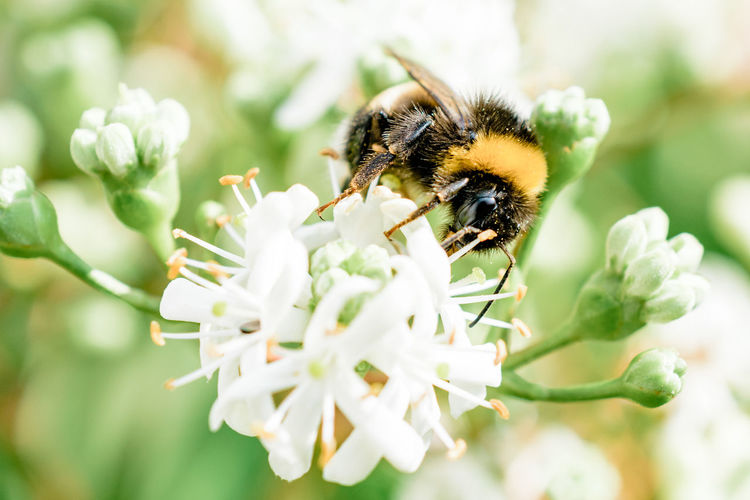 Bumblebee Animal Themes Animals In The Wild Beauty In Nature Bee Blossom Bumblebee Bumblebee On Blossom Bumblebee On Flower Close-up Flower Flower Head Growth Insect Nature One Animal Outdoors Petal Plant Pollen Pollination Selective Focus Seven Sons Plant