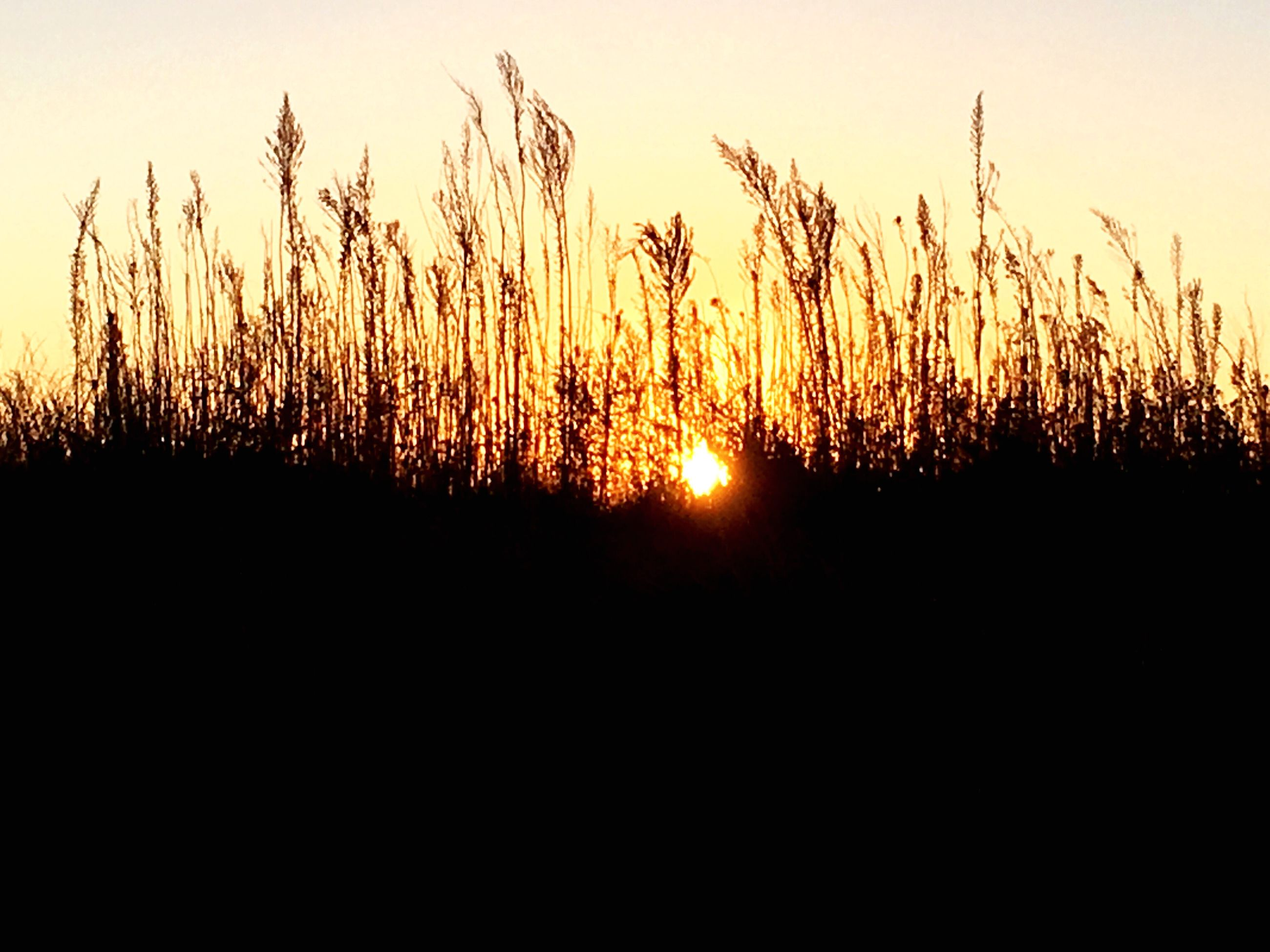 sunset, sun, grass, silhouette, tranquility, tranquil scene, scenics, sunlight, plant, beauty in nature, nature, reed - grass family, growth, back lit, non-urban scene, outdoors, uncultivated, sky, tall - high, sunbeam, majestic, tall grass, vibrant color, wilderness, remote