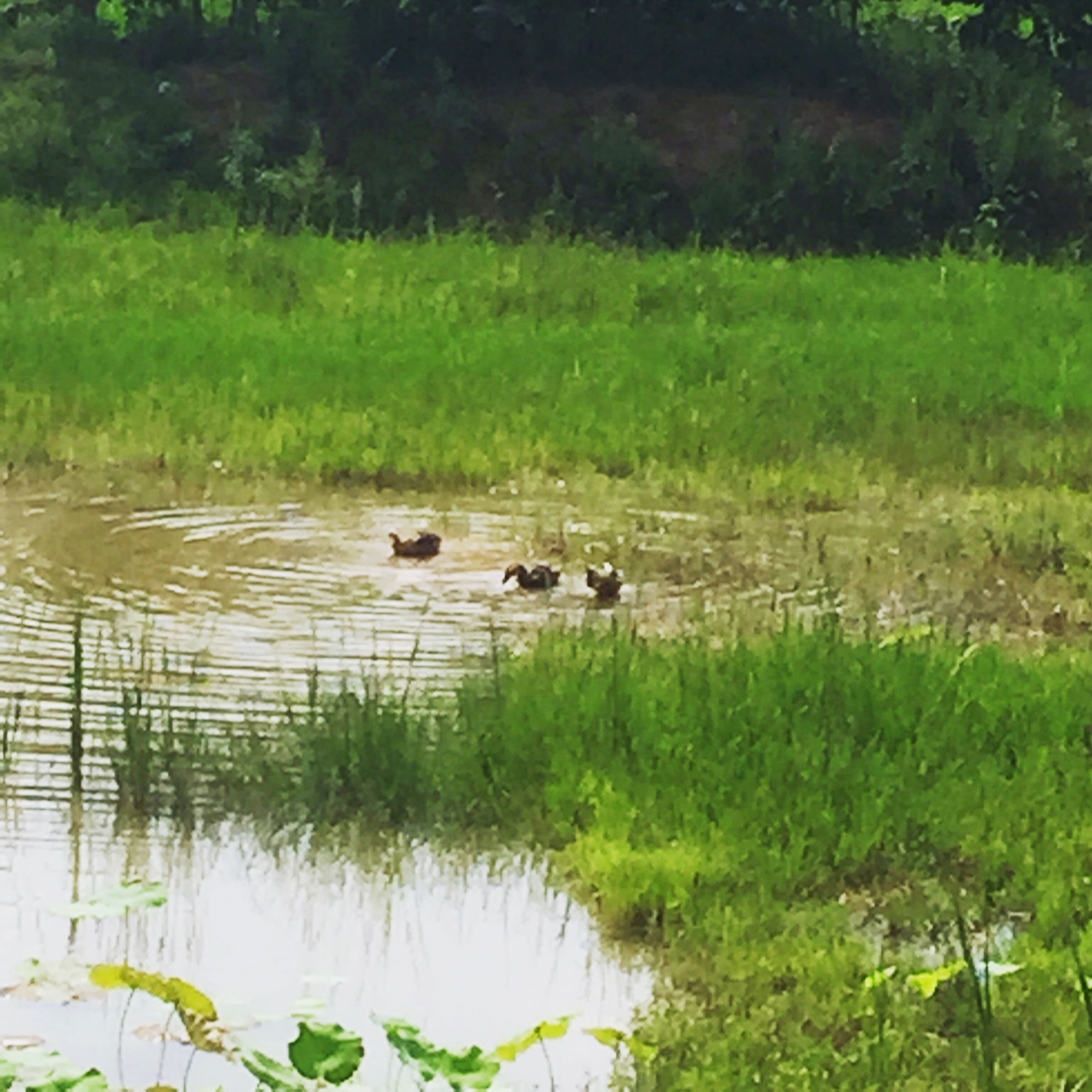 grass, animal themes, water, lake, green color, nature, plant, growth, tranquility, animals in the wild, tree, wildlife, reflection, duck, river, beauty in nature, day, high angle view, tranquil scene, mammal