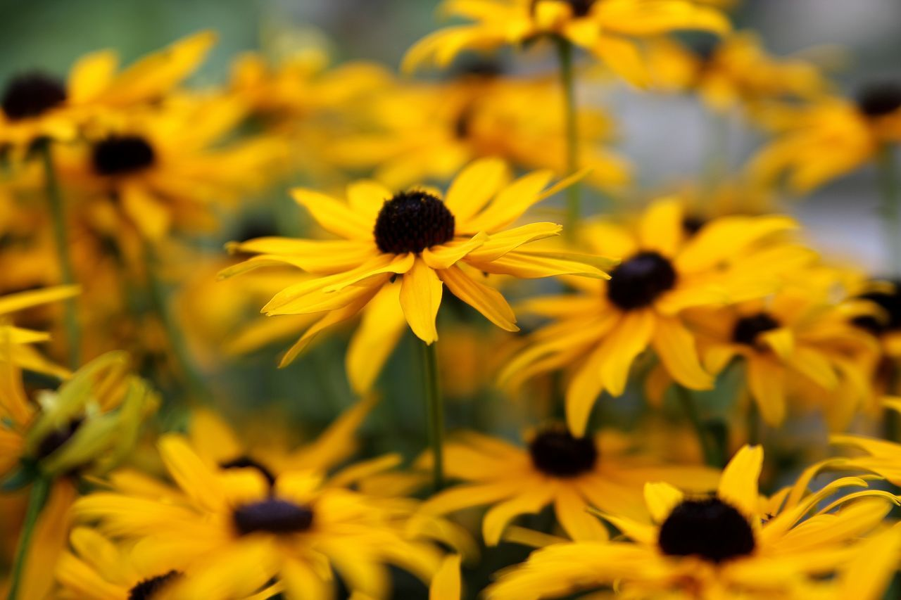 Beauty In Nature Black-eyed Susan Blooming Close-up Day Flower Flower Head Fragility Freshness Growth Makro Nature No People Outdoors Petal Plant Rudbeckia Sonnenhut Yellow Live For The Story