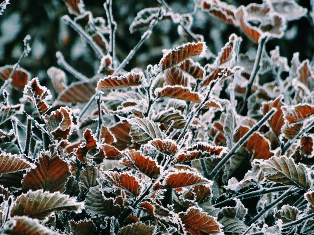 Nature Growth Close-up Plant No People Outdoors Beauty In Nature Day Leaves Winter New Year Snow Frost White Frost Cold Cold Temperature Cold Days Cold Winter ❄⛄