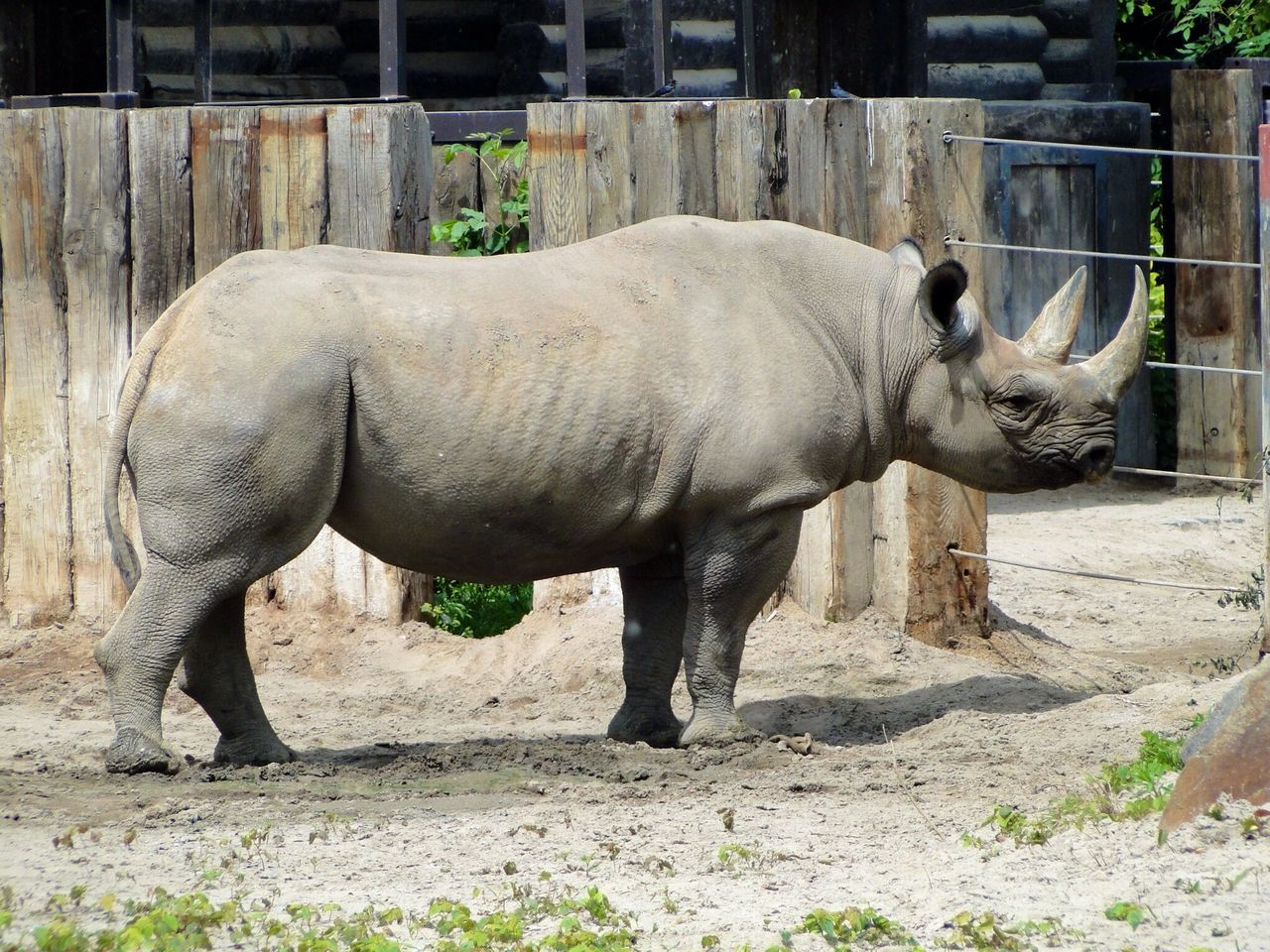 Side view of rhinoceros standing against wooden fence