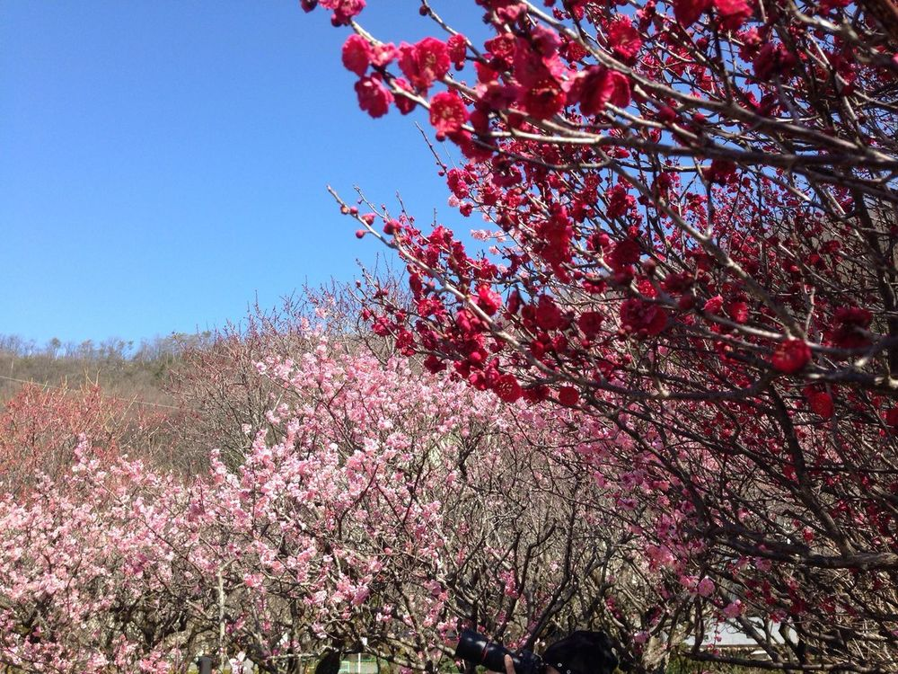 Spring has come. And plum blossoms have come out.