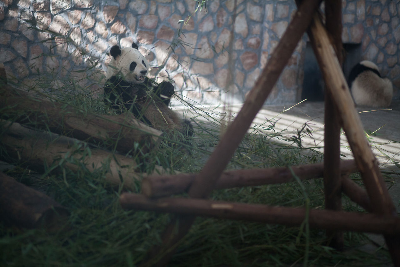 Beautiful stock photos of panda, Animal Themes, Animals In The Wild, Bamboo, Day