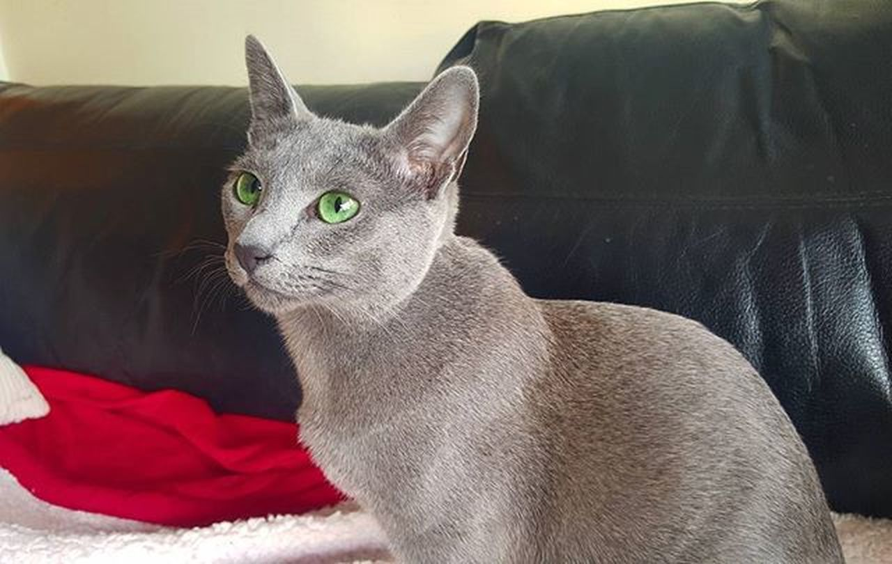 Leeloo watching the TV 😀📺💚 Russianbluesofinstagram Russianbluekitten RussianBlue Russianbluecat Instacat Instakitty Greycat Silvercat Bluecat Cat_features ロシアンブルー Propetsfeature Catstocker Catstock Excellent_cats Rosyjskiniebieski Russischblau Gats Gatos Azulruso Catsmosh N1cecats Thedailykitten Kot