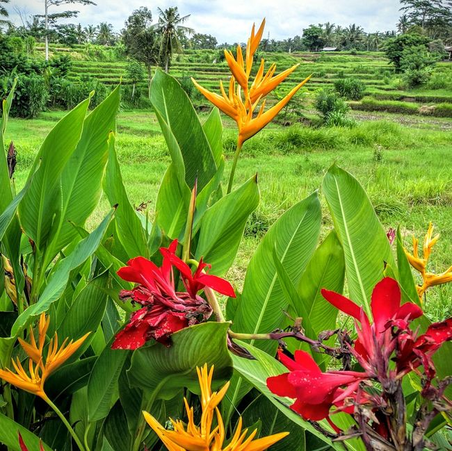 Bali INDONESIA Vacation Time Holidays In Bali Troplical Summer Flowers Rice Terraces Rice Field Colors