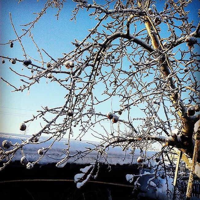омск сибирь зима январь яблоня снег мороз иней Omsk Siberia Winter Frost Hoarfrost January Aplletree