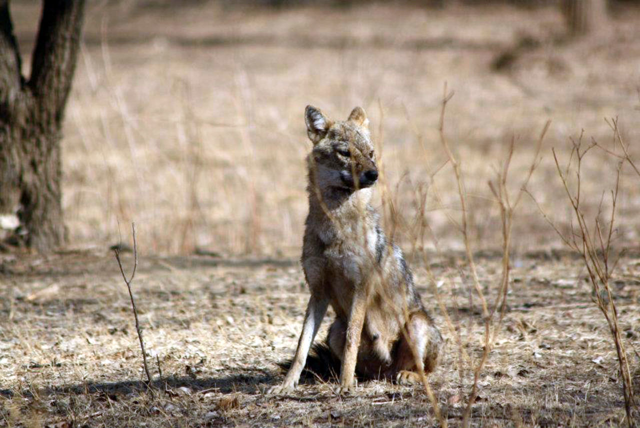 Gir National Park Alertness Animal Animal Themes Animal Wildlife Animals In The Wild Day EyeEmNewHere Grass Jackal Mammal National Park Nature Nature Photography No People One Animal Outdoor Photography Outdoors Portrait Rakeshtiwari Safari Animals Wildlife Wildlife & Nature Wildlife Photography