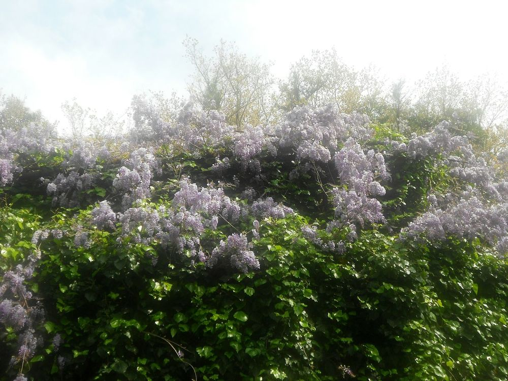 Nature Growth Tree Freshness Flower Beauty In Nature No People Sky Low Angle View Fragility Springtime Plant Outdoors Day Close-up Full Bloom Blooming Mediterranean Flowers Blooming Explosion Wisteria