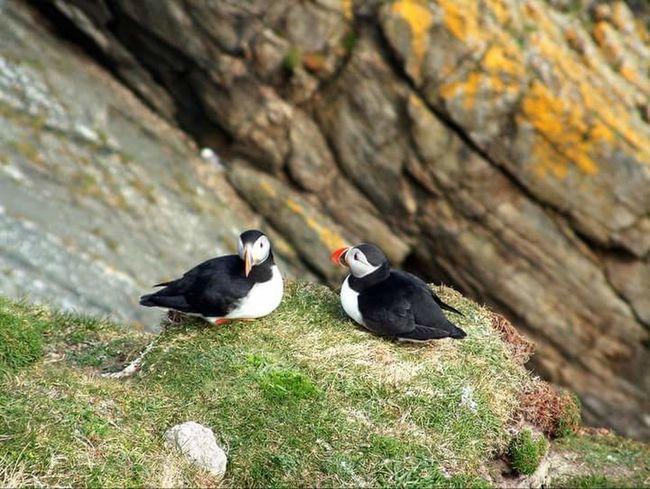 Birds Puffins Sumburgh Head Shetland Shetland Islands Animals In The Wild Lifeasiseeit Johnnelson
