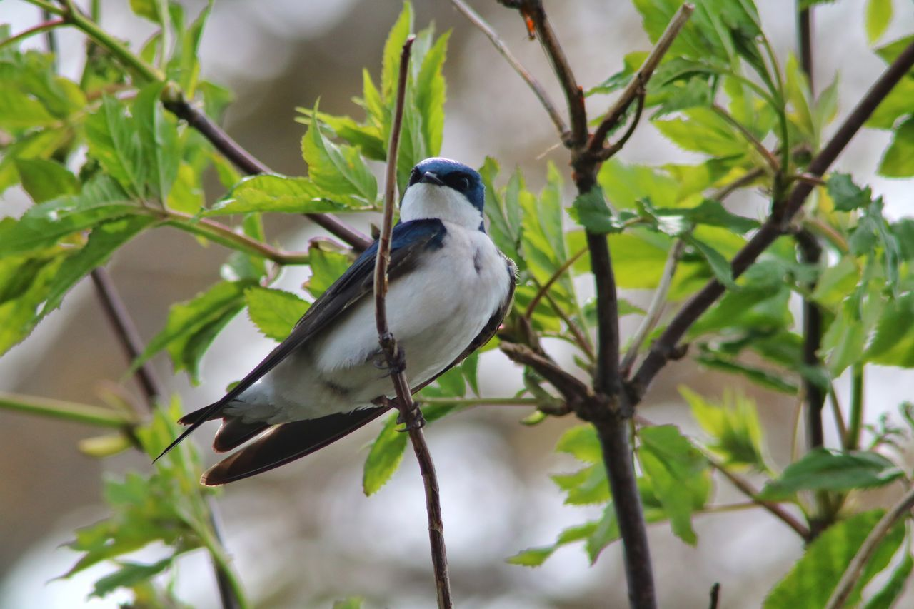 bird, one animal, animal themes, animals in the wild, perching, animal wildlife, focus on foreground, tree, branch, no people, day, nature, leaf, plant, low angle view, close-up, growth, outdoors, beauty in nature
