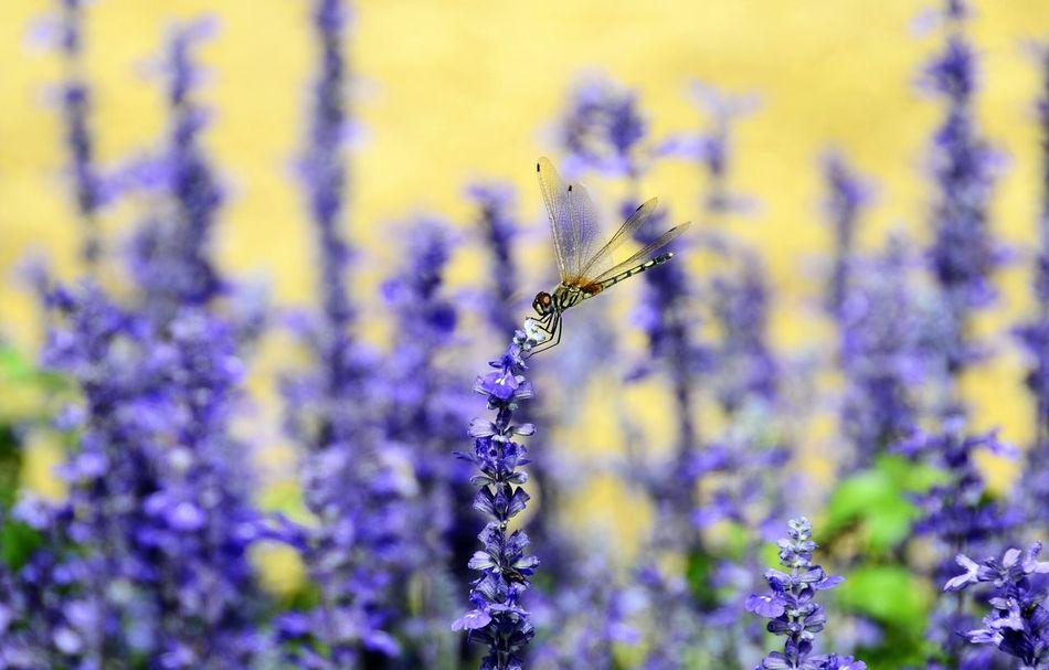 Dragonflies Plant Close-up Flower Nature Beauty In Nature Dragonfly Dragonfly💛 Salvia Violet Flowers Blue Flowers