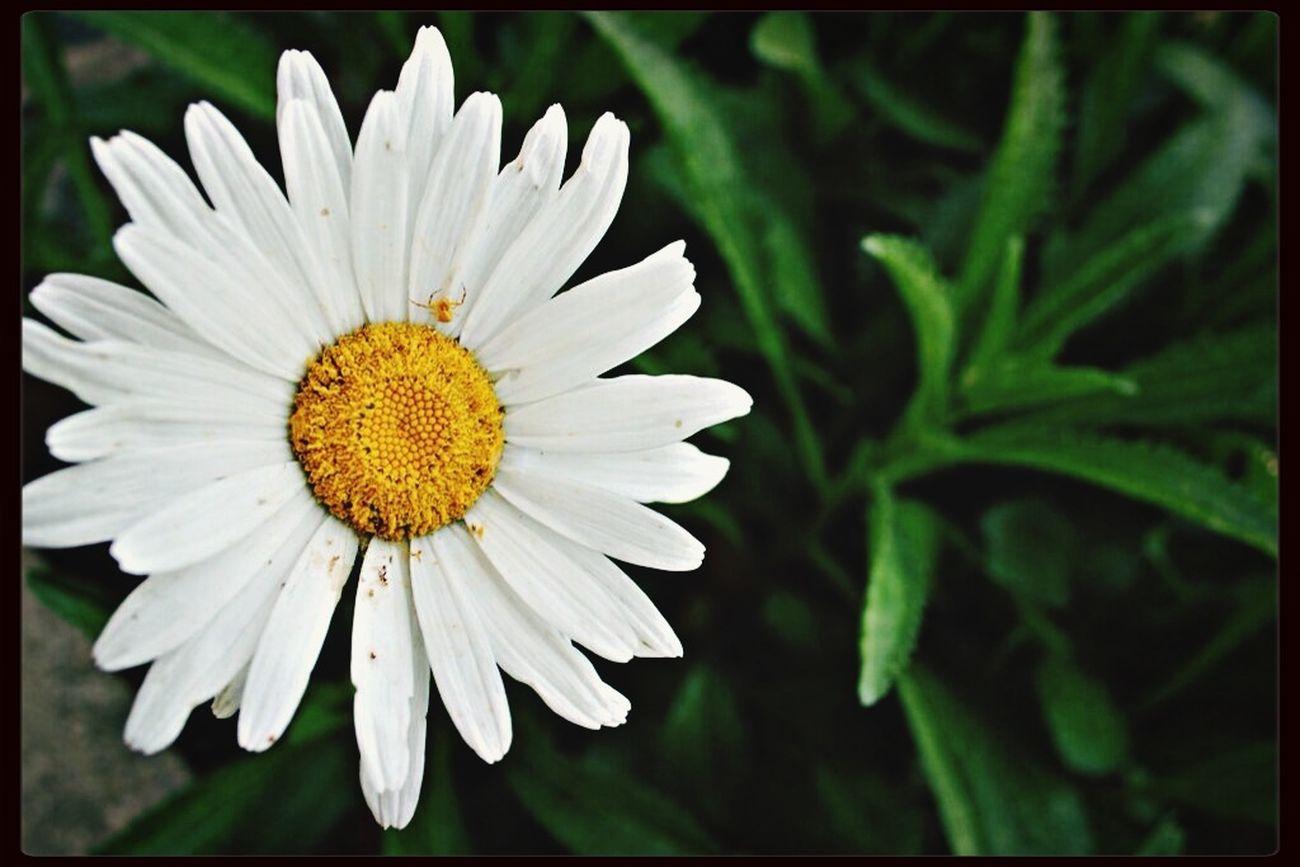 Daisy Flower Daisy ♥ EyeEm Flower