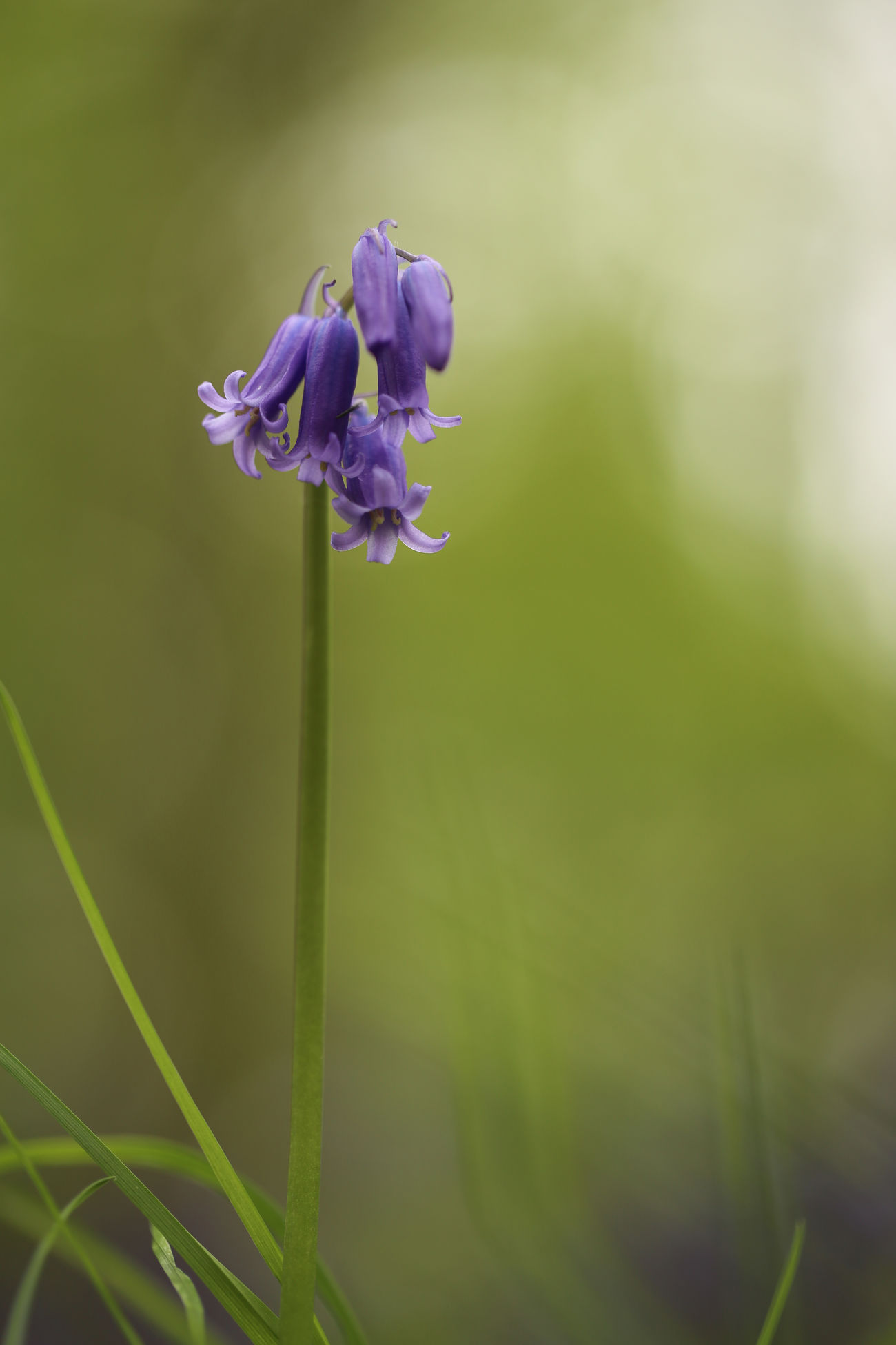 Flower Purple Fragility Beauty In Nature Close-up Uncultivated Green Color Flower Head No People Nature Freshness Blue Bells Hallerbos - Bois De Hal Macro Photography Blue Bell Flowers Landscape Beauty In Nature Nature Spring Macro Hallerbos Depth Of Field Full Frame Soft Colors  Beauty In Everything