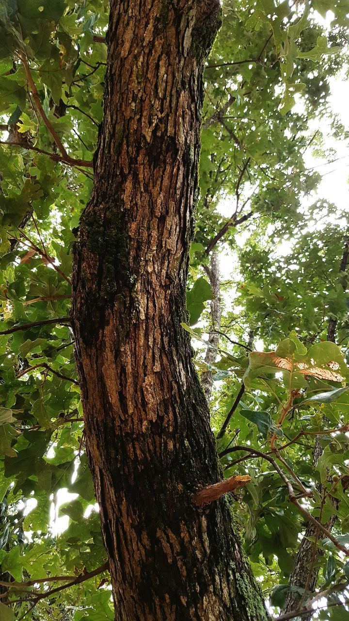 tree, tree trunk, growth, nature, day, branch, low angle view, no people, outdoors, green color, bark, forest, beauty in nature, animal themes, close-up