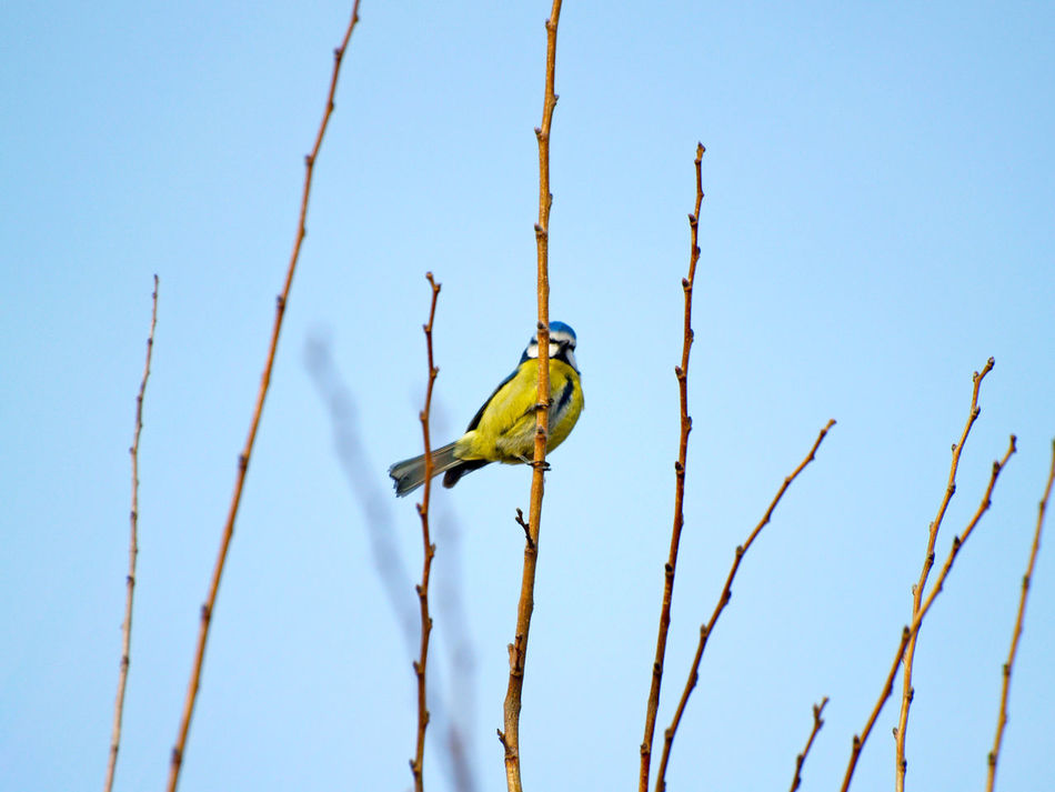 Animal Animal Themes Animal Wildlife Animals In The Wild Bare Tree Beauty In Nature Bird Birds Birdwatching Bluetit Branch Clear Sky Cyanistes Cyanistes Caeruleus Day Environment Low Angle View Nature No People One Animal Outdoors Perching Perching Bird Sky Tree