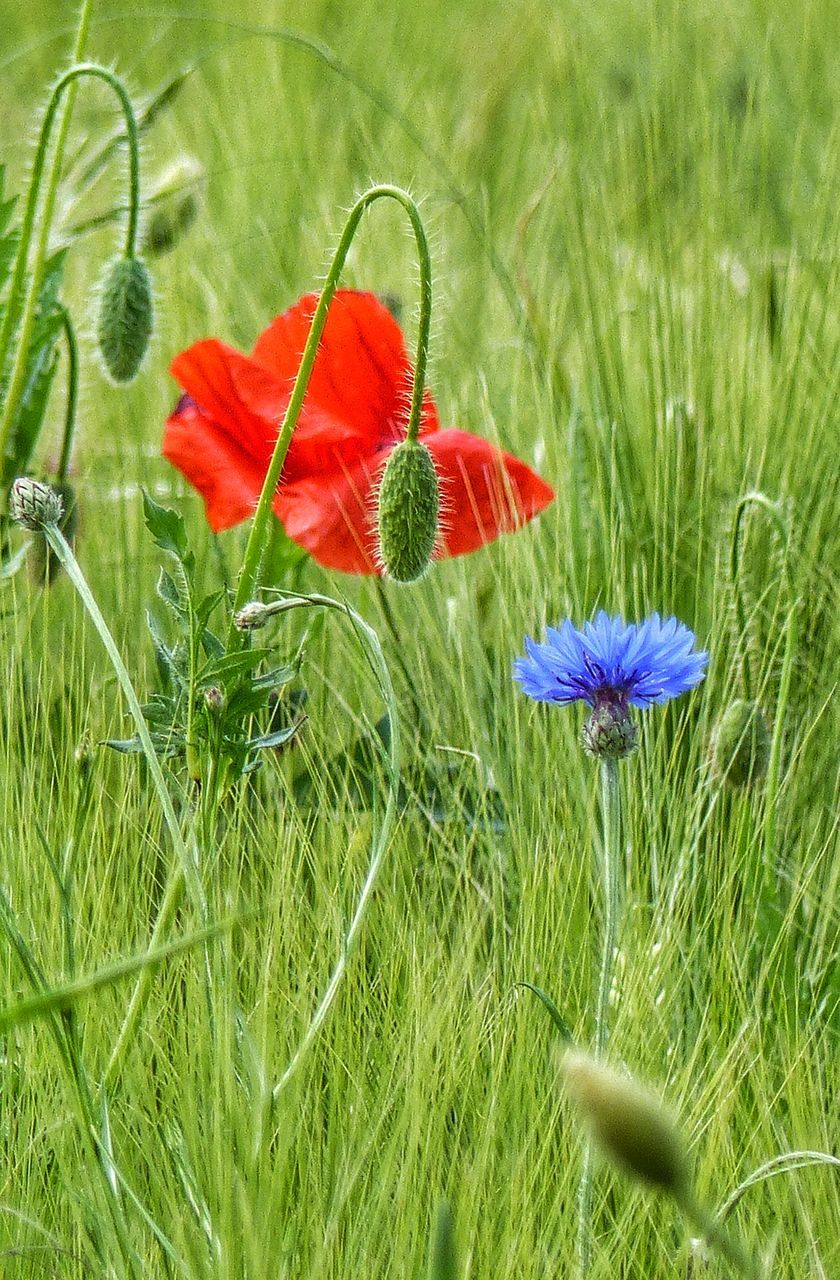 Close-Up Of Poppy Growing In Field