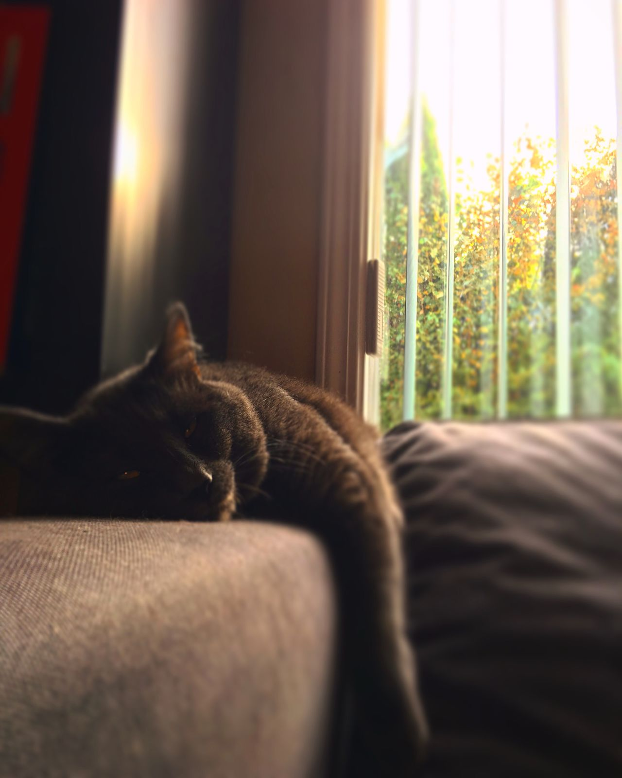 Autumn laziness Princess Canada Vancouver Cat♡ Pet Pure Love My Boss