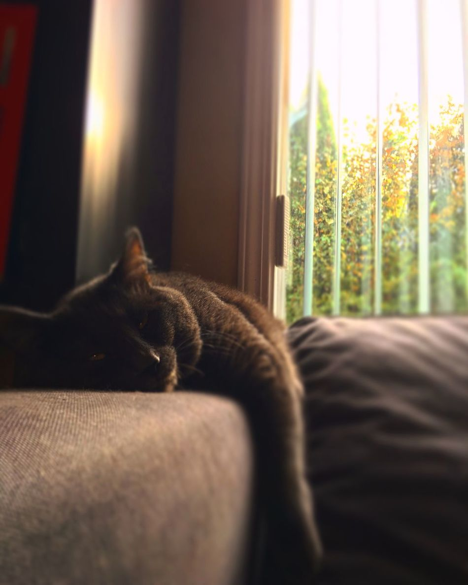 Autumn laziness Princess Canada Vancouver Cat♡ Pet Pure Love My Boss
