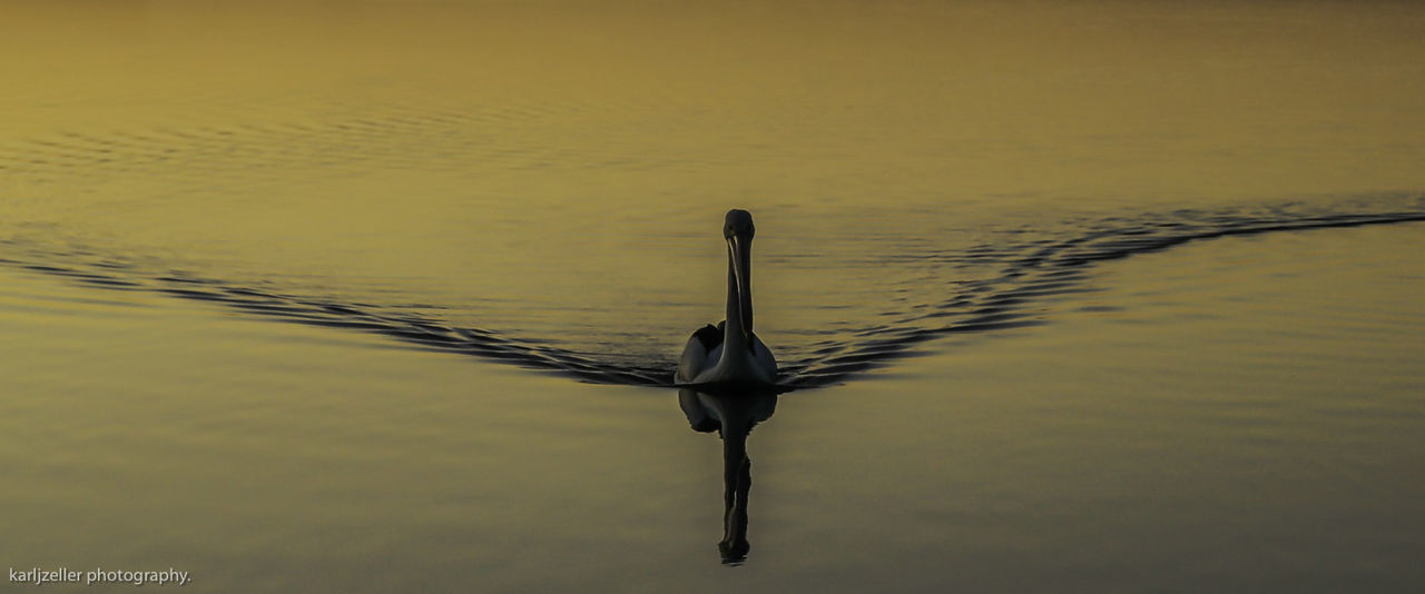 Pelican at Sunrise. Animal Themes Animal Wildlife Animals In The Wild Beauty In Nature Bird Day Lake Nature No People One Animal Outdoors Reflection Scenics Sky Sunset Swan Swimming Tranquil Scene Tranquility Water Waterfront