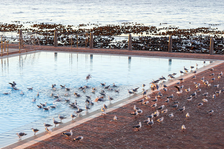 Seagulls at sunset Basking Basking In The Sun Bird Cape Town Flock Of Seagulls Large Group Of Animals Nature No People Outdoors Pool Sea Point Seagull Seagulls South Africa Sunset Swimming Swimming Pool Water