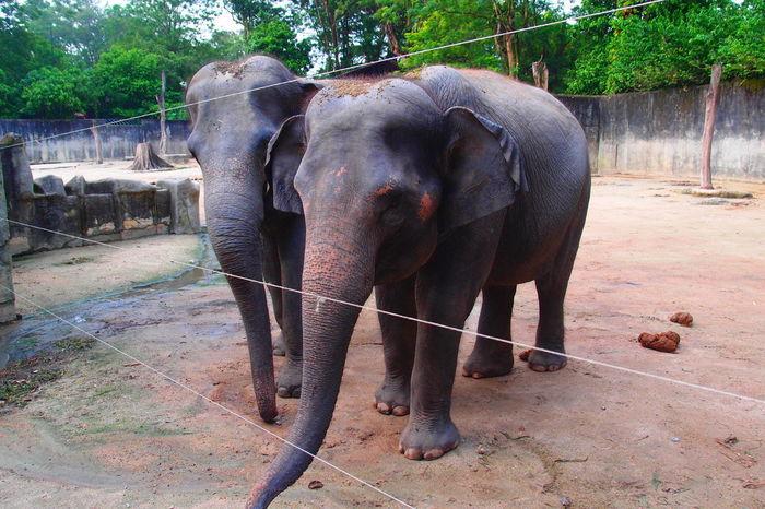 EyeEm Selects Elephant Animal Themes Mammal Animal Wildlife Animals In The Wild African Elephant Safari Animals Outdoors Tree Elephant Calf Day Nature Animals In The Wild Domestic Animals Close-up Zoophotography ZooLife Zoomalaysia Nature Zoopark