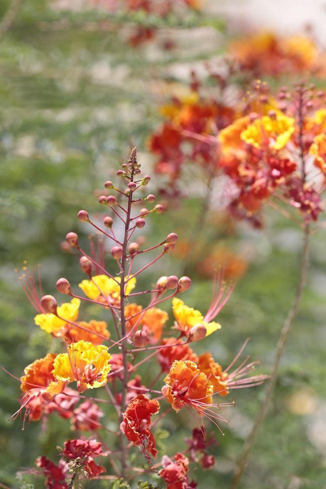 Palm Desert in bloom. Deserts Around The World Desert Life Desert Beauty Desert JGLowe Plantlife Flowers Flower Plant Budding Flower