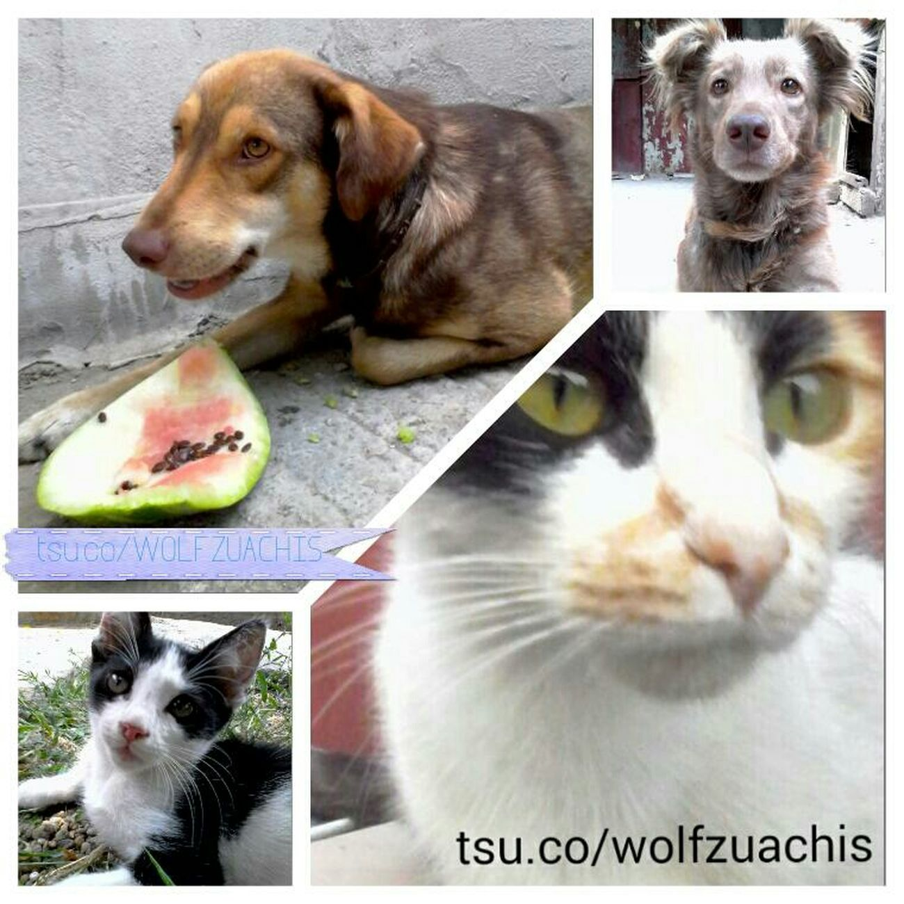 TSU Collage Wolfzuachis Colaj