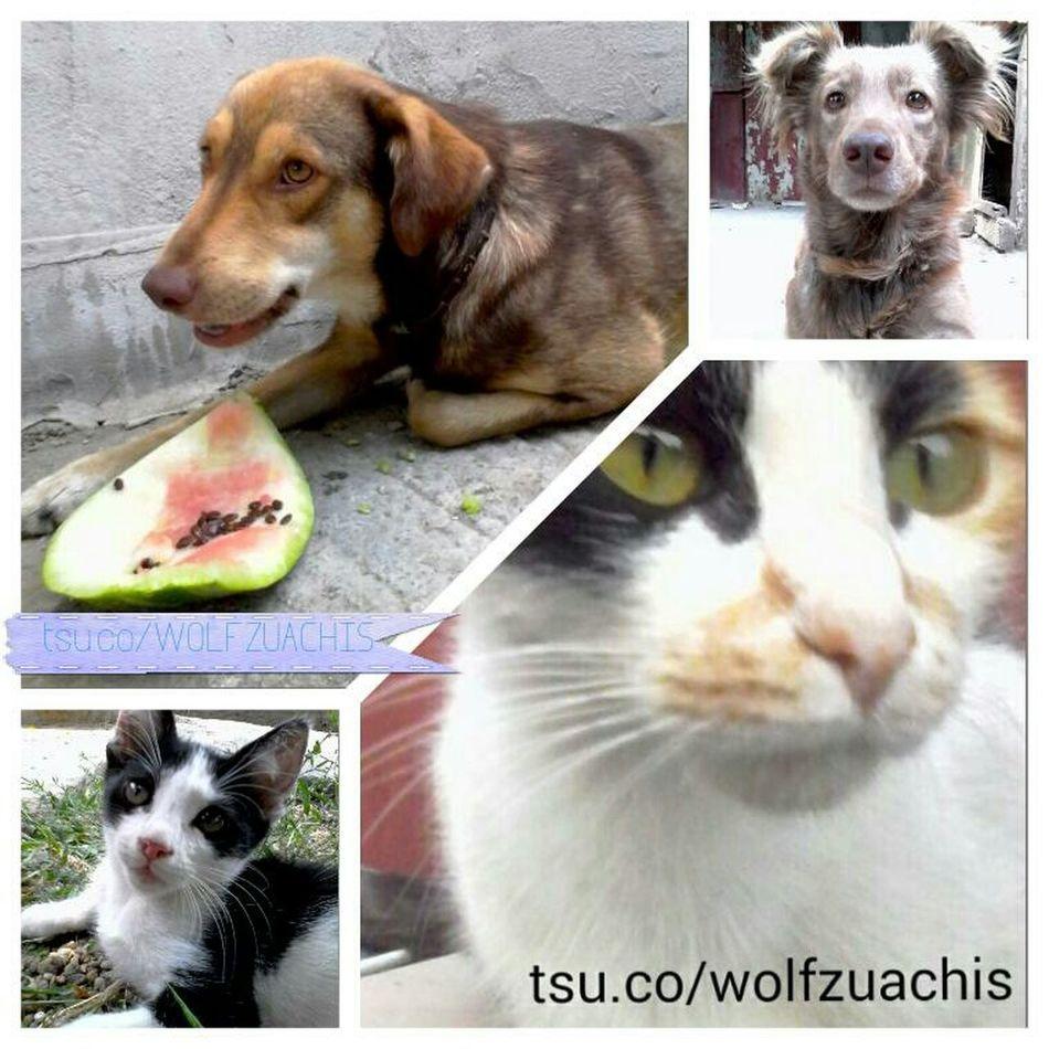TSU Collage Wolfzuachis Colaj