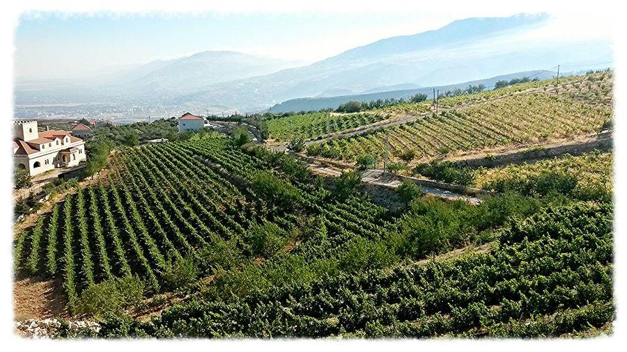 Vineyards  Bekaa Valley Lebanon