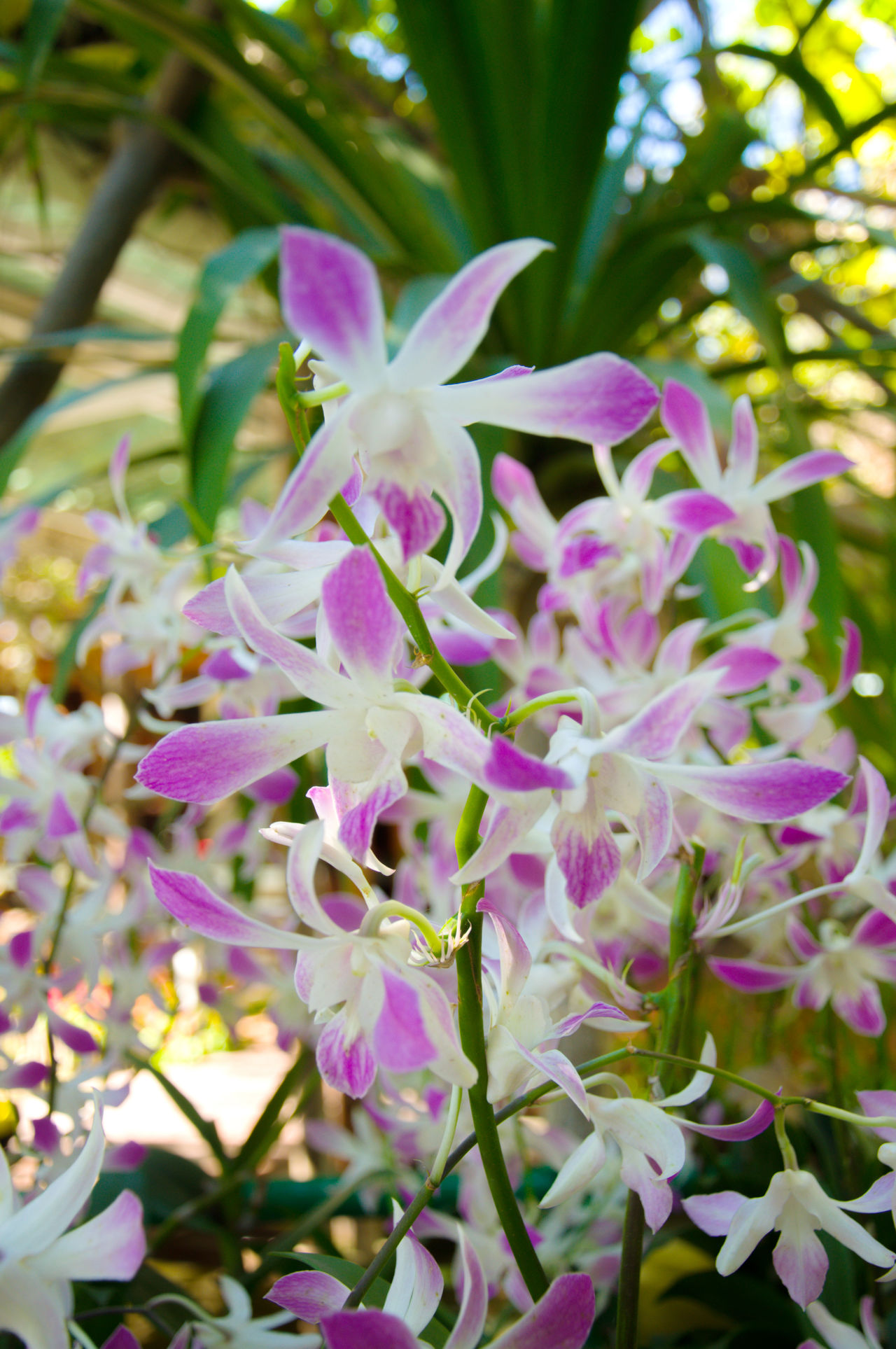 Dendrobium orchids Beauty In Nature Blooming Blossom Branch Close-up Day Dendrobium Dendrobiumorchid Flower Flower Head Fragility Freshness Growth Nature No People Orchid Orchid Blossoms Outdoors Petal Plant Purple
