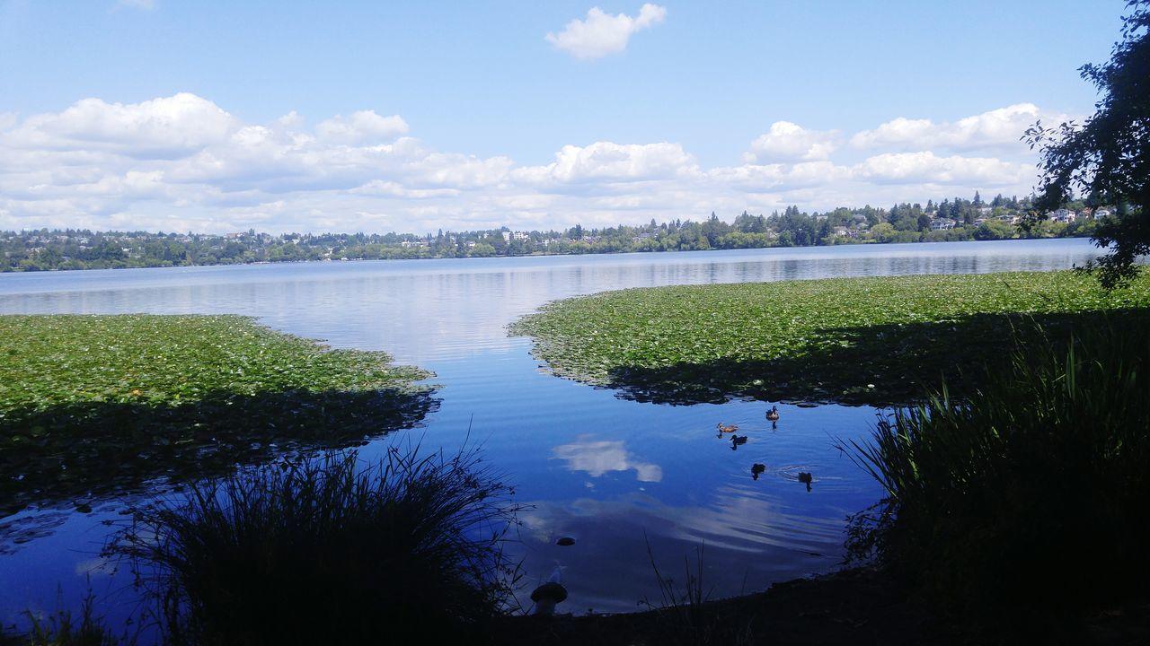 Lake Greenlake Ducks Lillypads